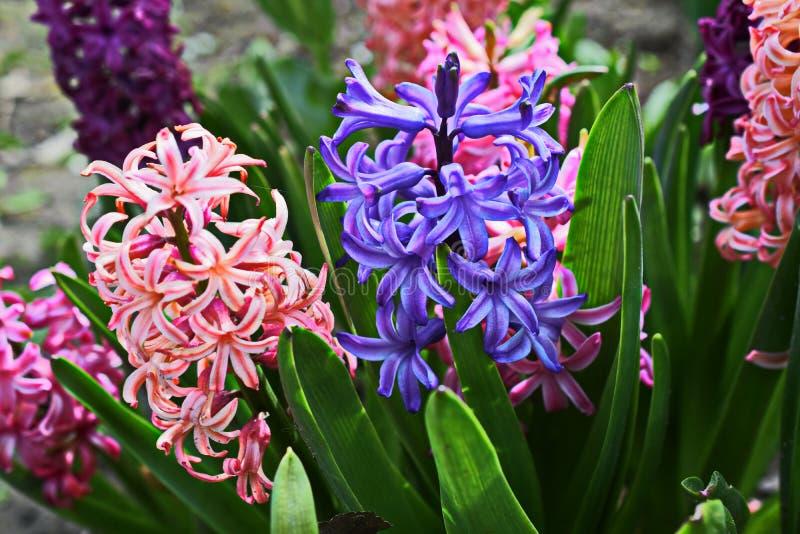 Våren blommar rosa hyacinter arkivbilder
