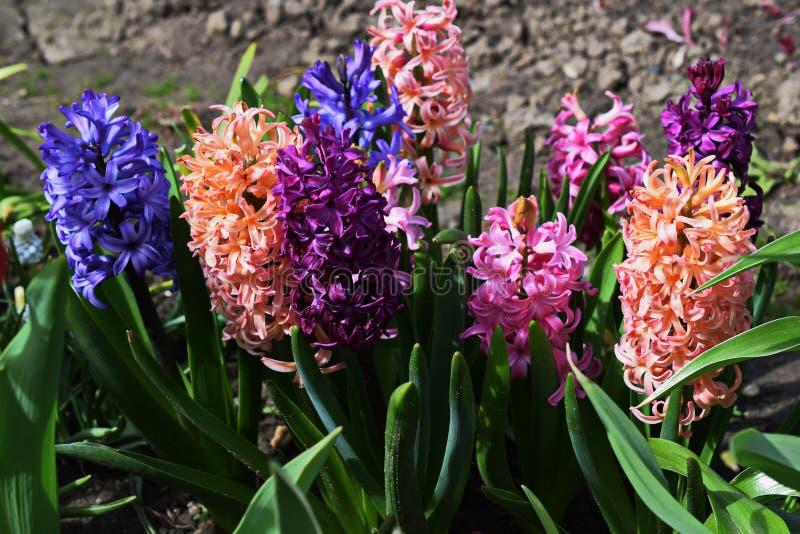 Våren blommar rosa hyacinter royaltyfri fotografi