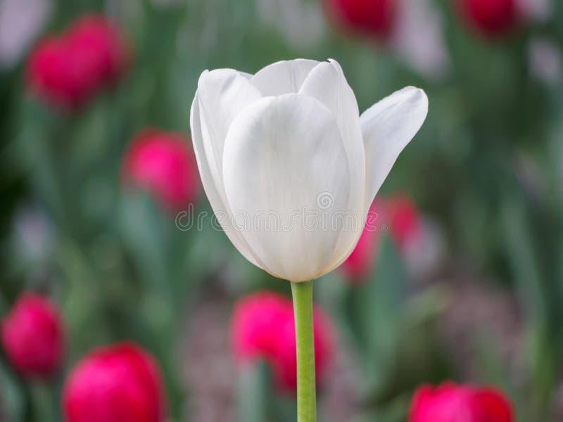 Våren blommar serien, enkel vit tulpan i fält fotografering för bildbyråer