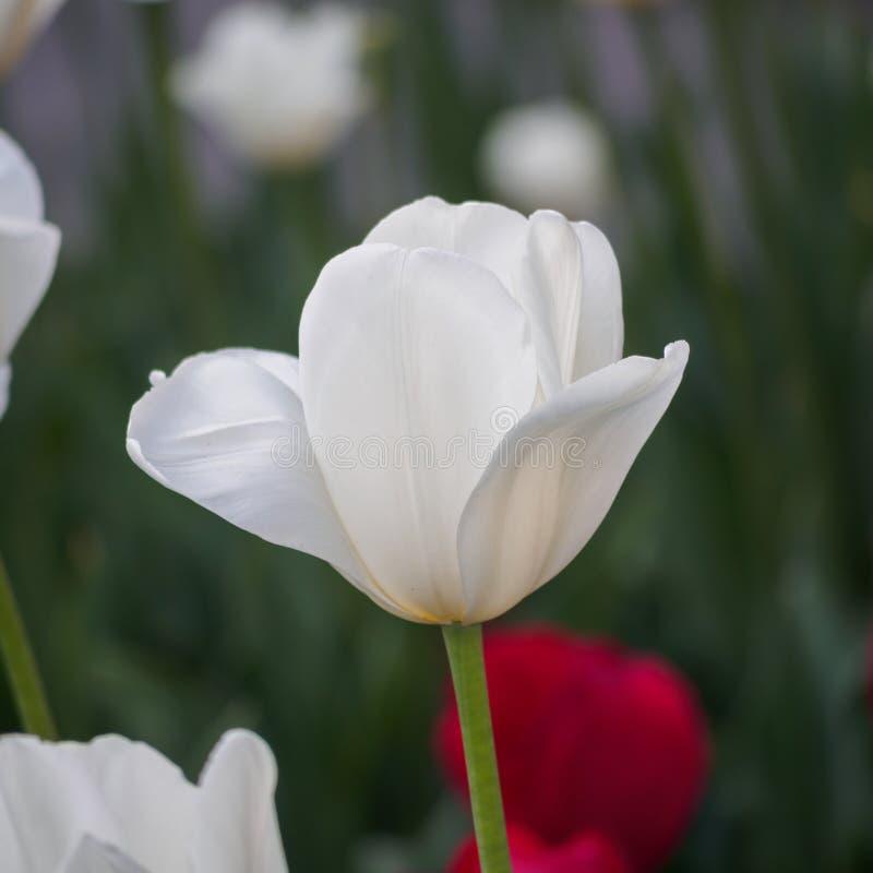 Våren blommar serien, enkel vit tulpan i fält royaltyfri foto
