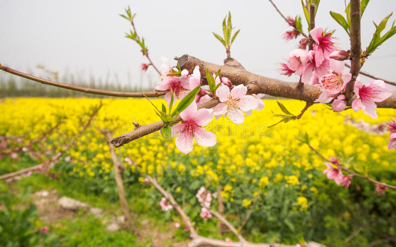 Våren blommar serien, persikan som blomstrar i rapsfröfält royaltyfri fotografi