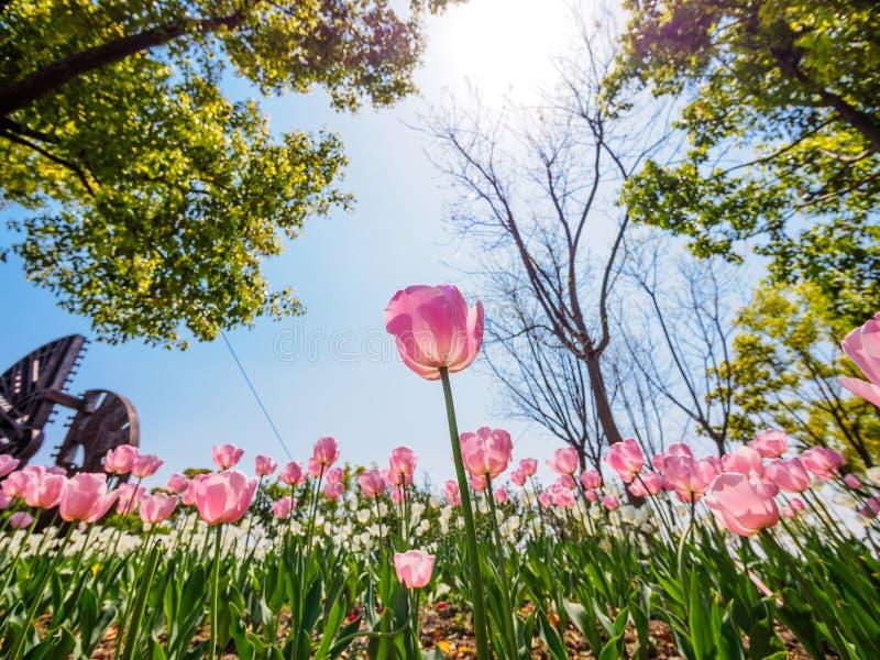 Våren blommar serien, rosa tulpan royaltyfri bild