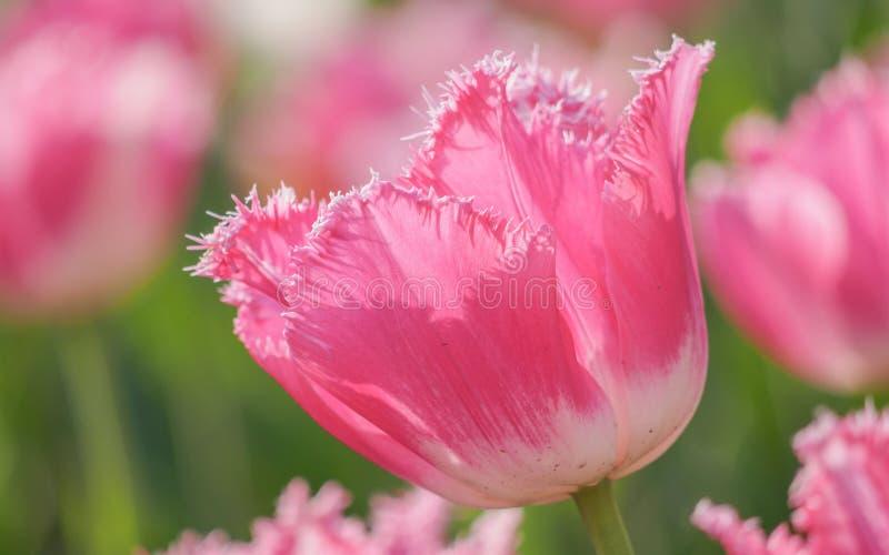 Våren blommar serien, rosa tulpan med ojämna kronblad royaltyfri fotografi