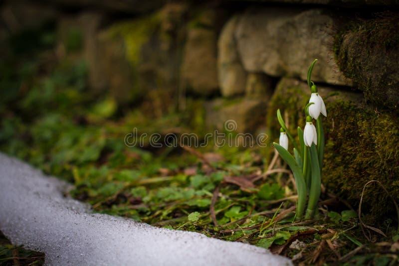 Våren blommar snödroppeGalanthus nivalis som poppar ut ur snön arkivfoto