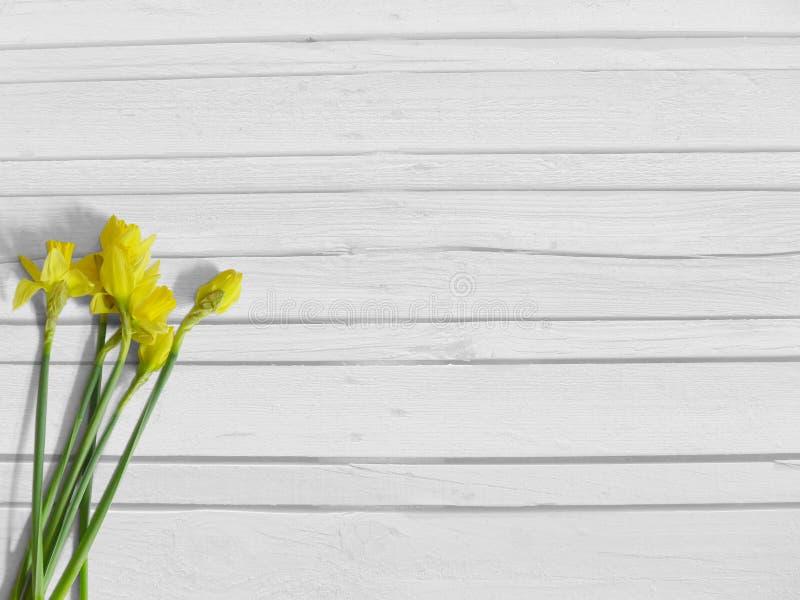 Våren eller påsken utformat materielfotografi med den gula påskliljan blommar, pingstliljan Sjaskig gammal vit träbakgrund, lekma royaltyfri fotografi