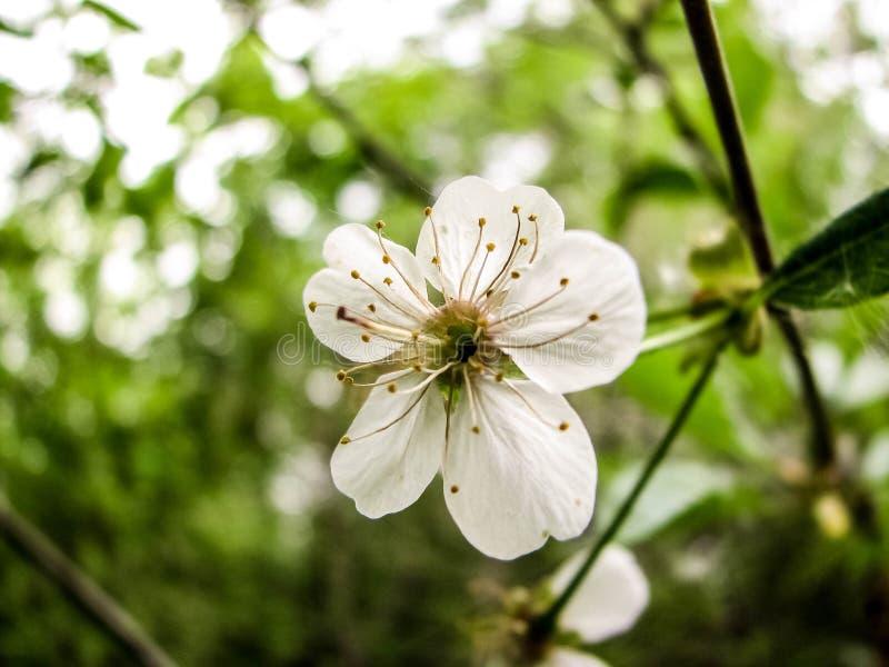 Våren för den körsbärsröda blomningen i kan royaltyfria foton