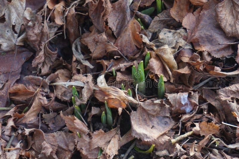Våren kommer, och de första växterna spirar arkivbild