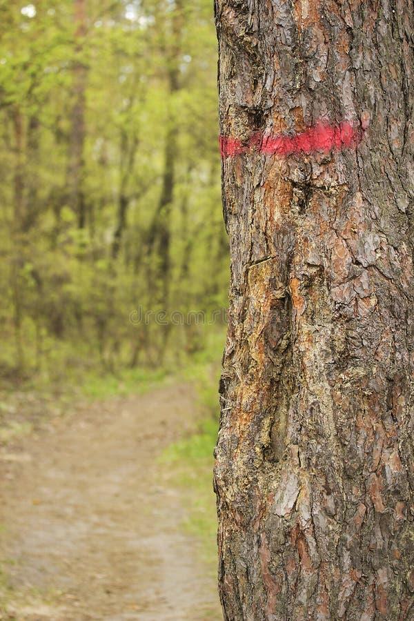 Våren sörjer trädstammen som målas med det röda bandet royaltyfri foto