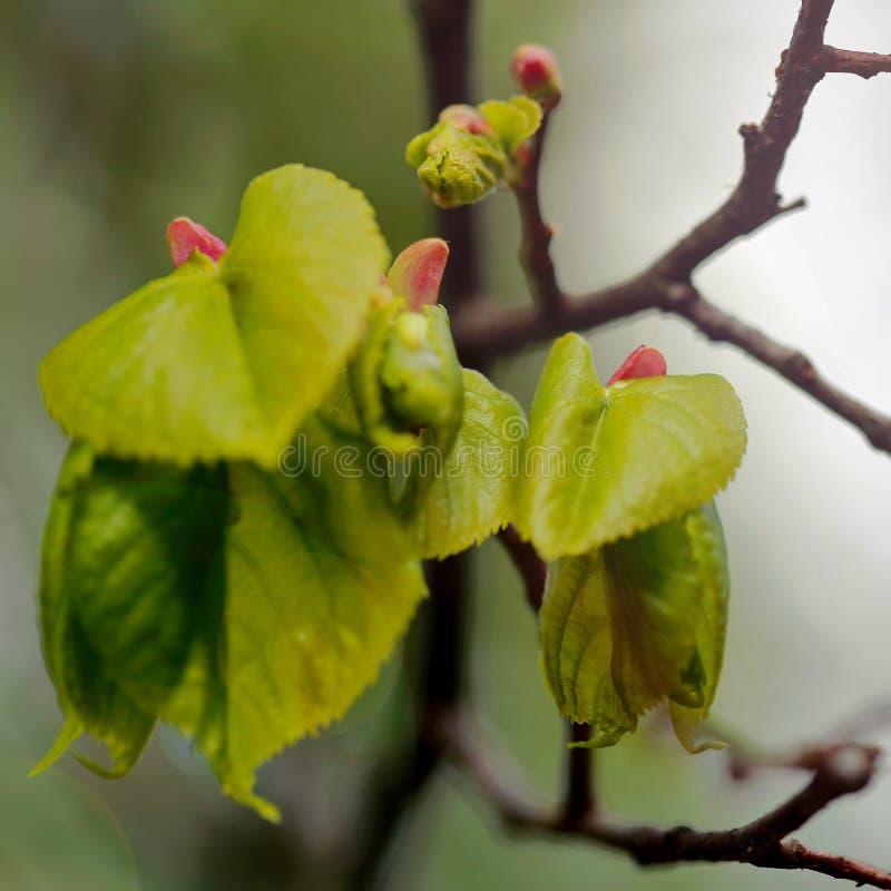 Våren skjuter av trädet arkivfoton