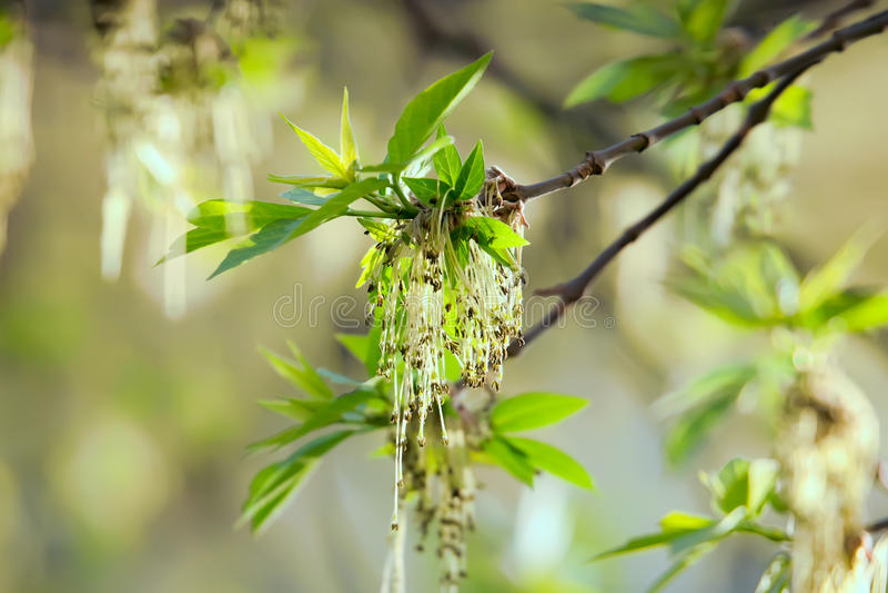 Våren slår ut askaträdet royaltyfri bild