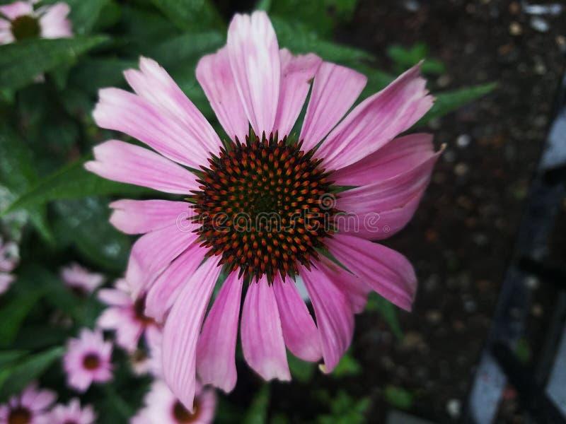 Våren zoomade den bördiga naturen för rosa färgblomman fotografering för bildbyråer