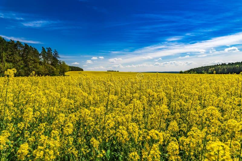 Vårfält med den gula rapsfröväxten i härligt landskap royaltyfria foton