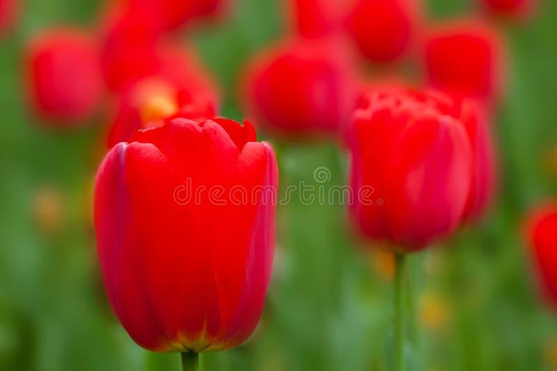 Vårfält med röda tulpan arkivbild