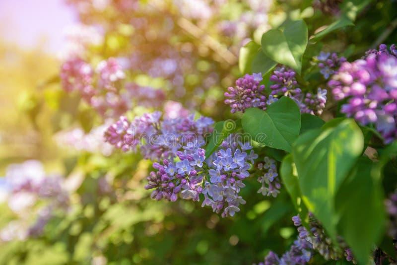 Vårfilial av att blomstra lilan mot bakgrund field blåa oklarheter för grön vitt wispy natursky för gräs royaltyfri fotografi