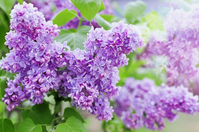 Vårfilialen av lilan blommar, naturlig bakgrund, älskvärt landskap av naturen royaltyfri foto