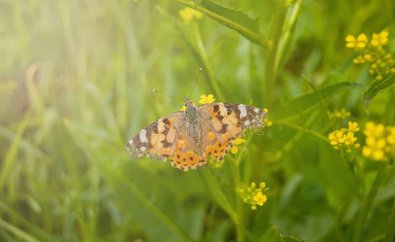 Vårfjäril på en blommabakgrund, varmt ljus, sommar, härlig fjärilsnatur royaltyfri fotografi