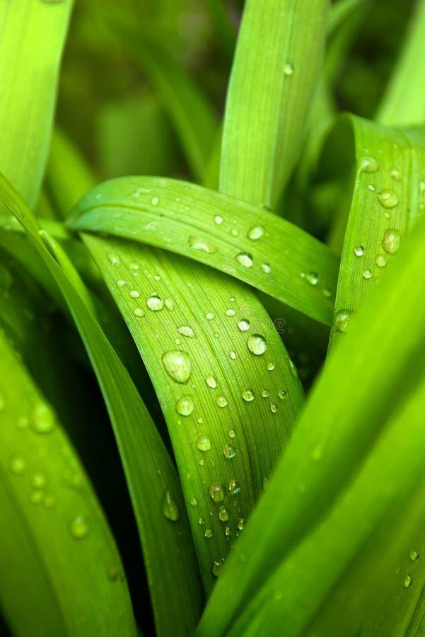 Vårgräs med vattendroppar fotografering för bildbyråer