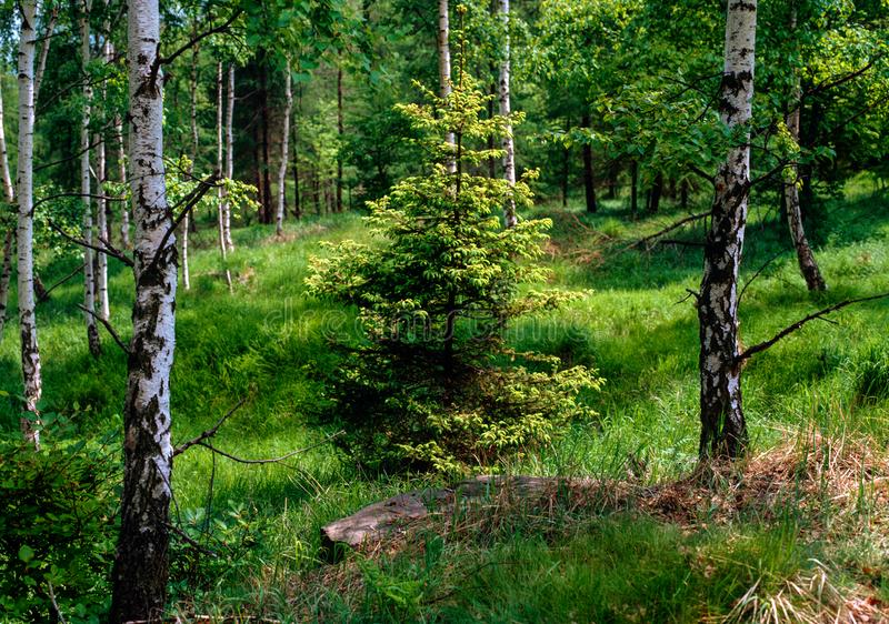 Vårgran i björkskogen royaltyfri bild