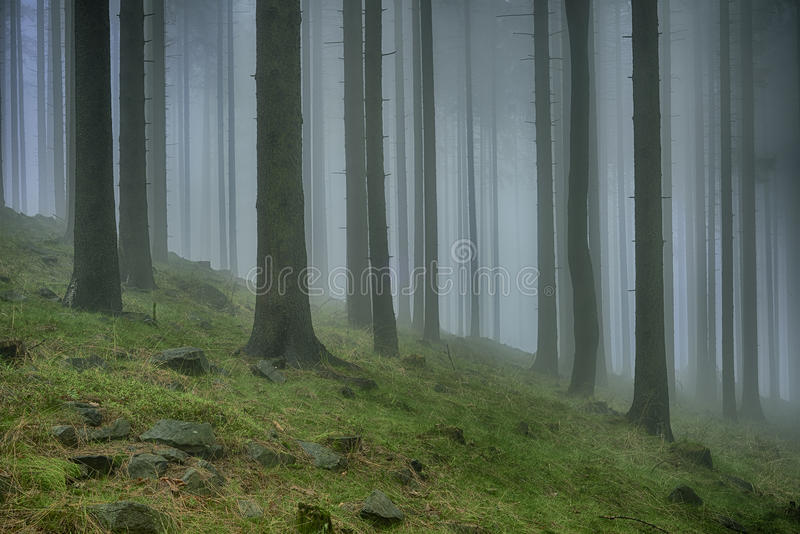 Vårgranskog arkivfoto