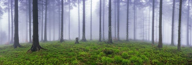 Vårgranskog fotografering för bildbyråer