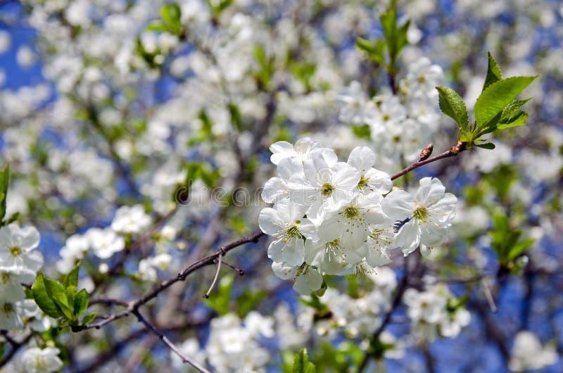 Vårkörsbär-trädet blomstrar på himmelbakgrund fotografering för bildbyråer