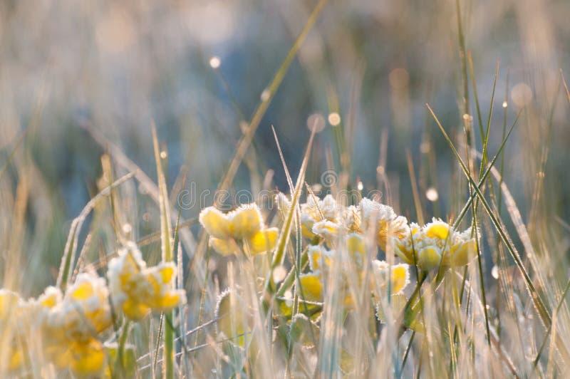 Vårkingcups som frysas med en tidig frost royaltyfria bilder