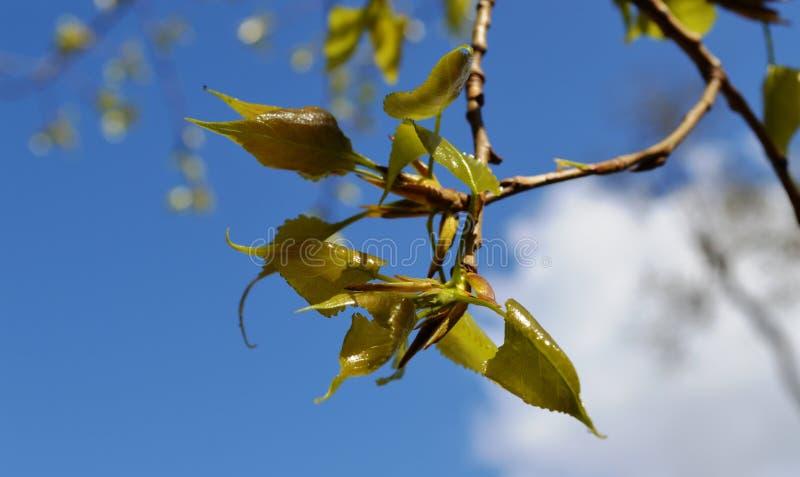 Vårknoppavbrott av buskarna och träden royaltyfria foton