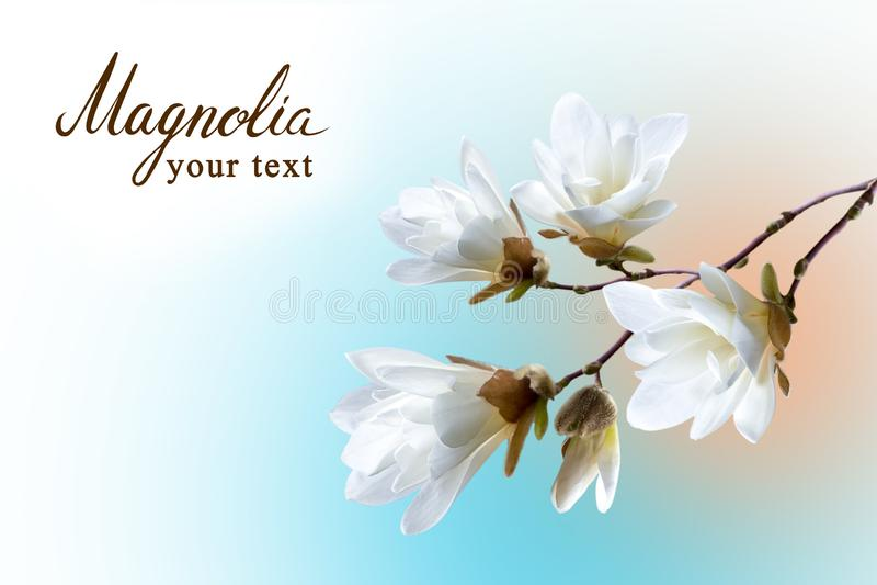 Vårkort, en filial av den vita magnoliakobusen på unfazed bakgrund royaltyfri fotografi