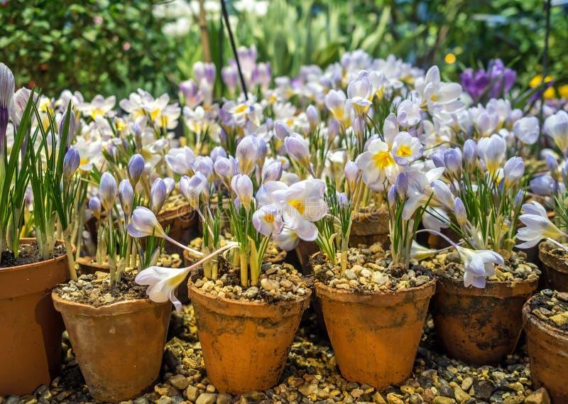 Vårkrokus blommar i en lerakruka fotografering för bildbyråer