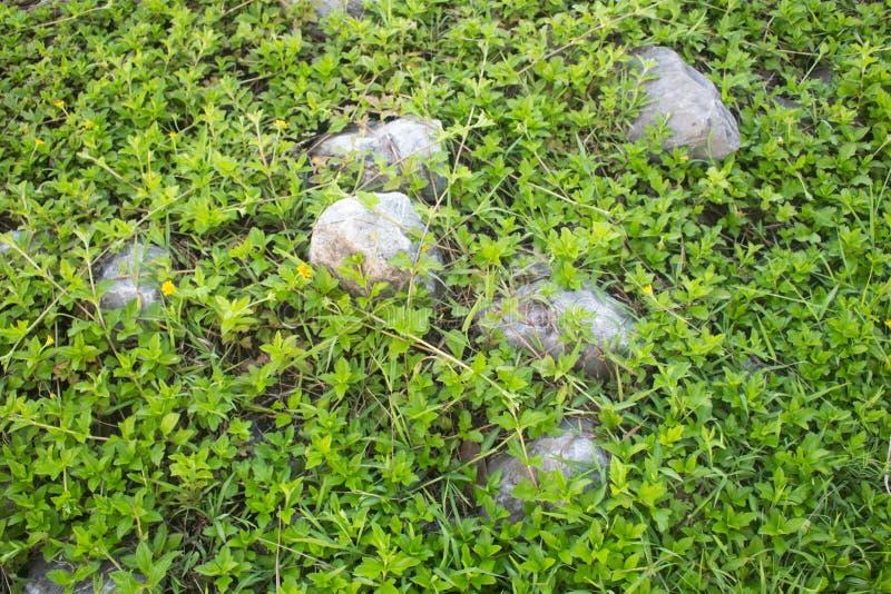 Vårlandskap, grönt fält med gula maskrosblommor fotografering för bildbyråer