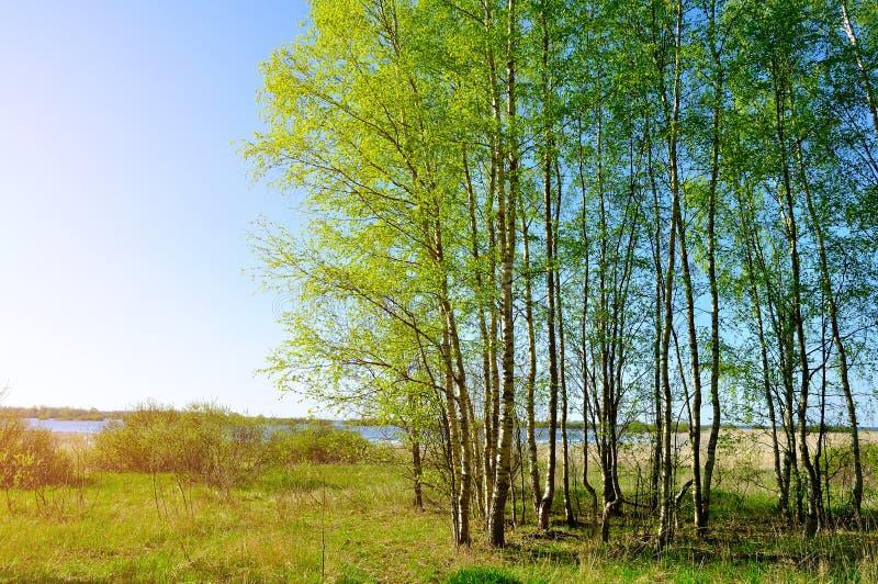 Vårlandskap - liten björkskog nära den Volkhov floden i trevligt soligt väder för vår fotografering för bildbyråer