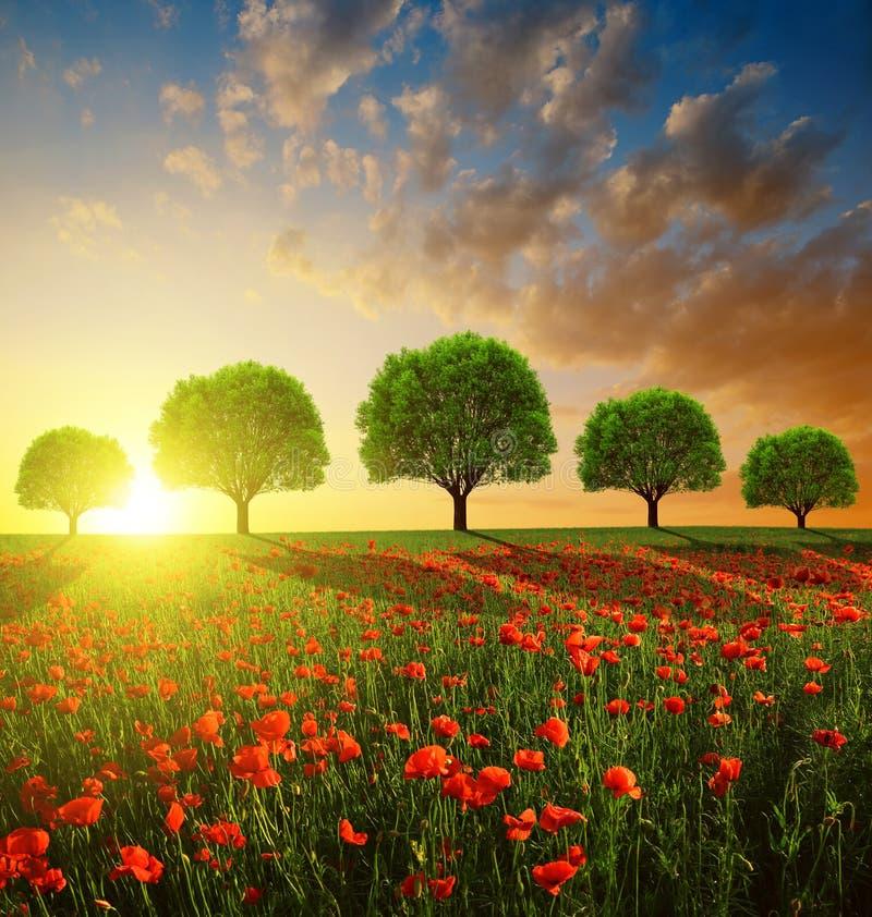 Vårlandskap med det röda vallmofältet och träd royaltyfri bild