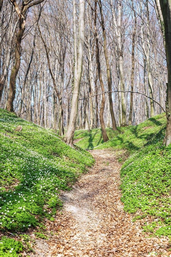 Vårlandskap med skogvandringsledet och den vita träanemonen för lösa blommor royaltyfria bilder