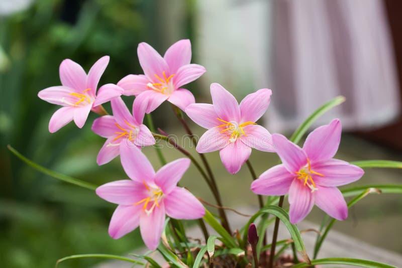 Vårlandskap, rosa violetta färgrika blommor Zephyranthes elegans planterar begrepp Mjukt fokusera fotoet royaltyfria bilder
