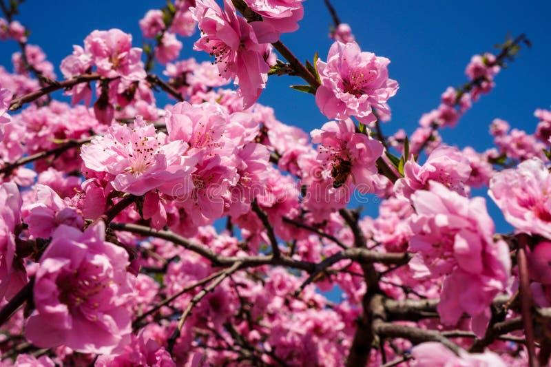 Vårlandskapet av plommonblomningar royaltyfri fotografi