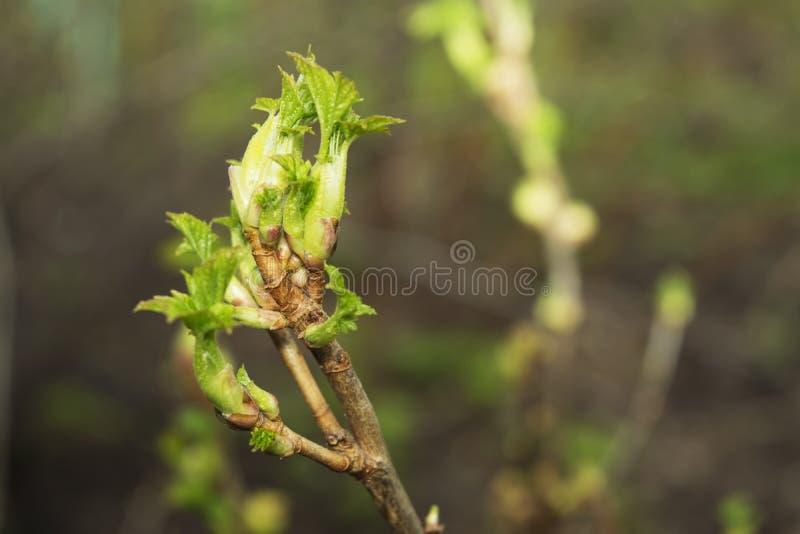 Vårlilan slår ut på busken royaltyfria bilder