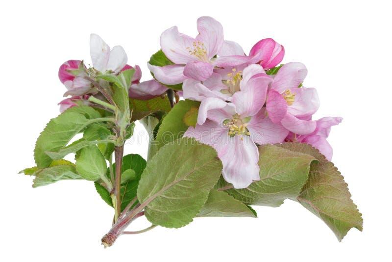 VårMaj filial av att blomstra det Apple trädet med isolerade vita små rosa blommor royaltyfri fotografi