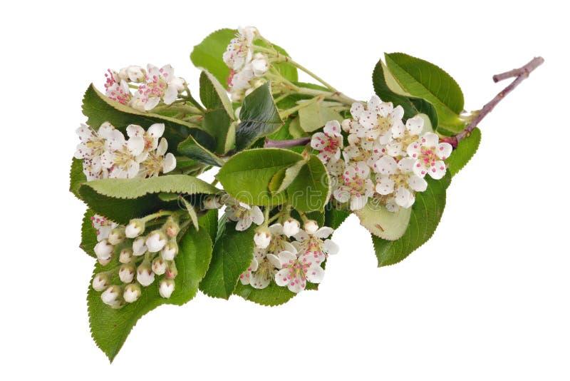 VårMaj filial av att blomstra det lösa häggträdet med isolerade vita små blommor arkivbilder
