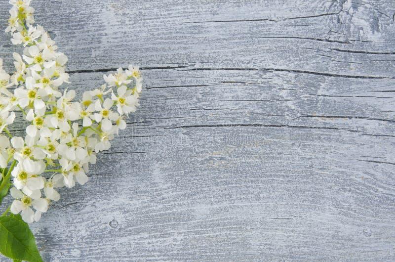 Vårnaturbakgrund med blomninghäggfilialen och blommor, bästa sikt med kopieringsutrymme Begrepp f?r v?rtid Birdcherry royaltyfria foton