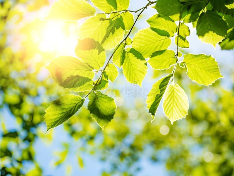 Vårnaturbakgrund med grön trädlövverk royaltyfria foton
