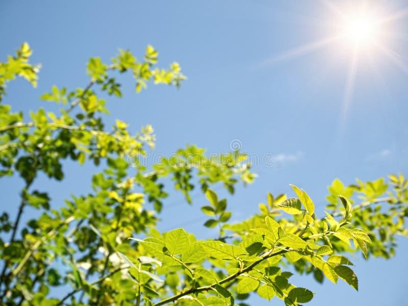 Vårnaturbakgrund med gröna trädsidor på bac för blå himmel royaltyfria foton