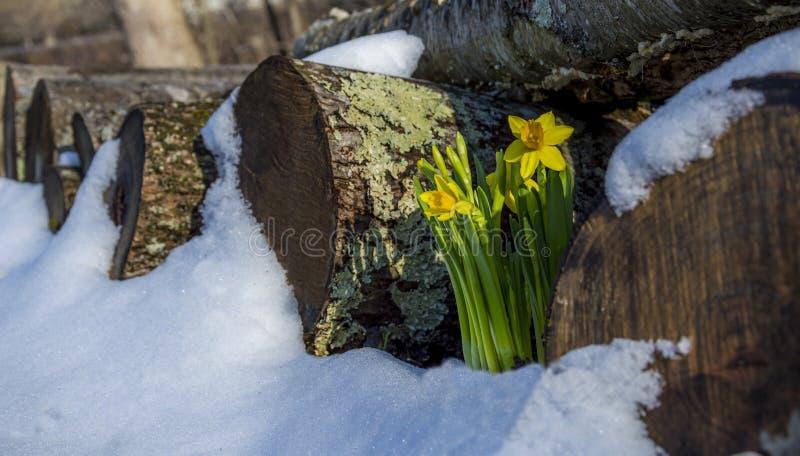 Vårpingstlilja i en snöig vedtrave arkivfoto