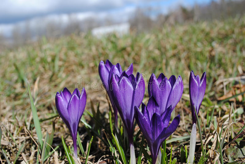 Vårprimulor just rained Blommande violetta krokusar glatt arkivfoton