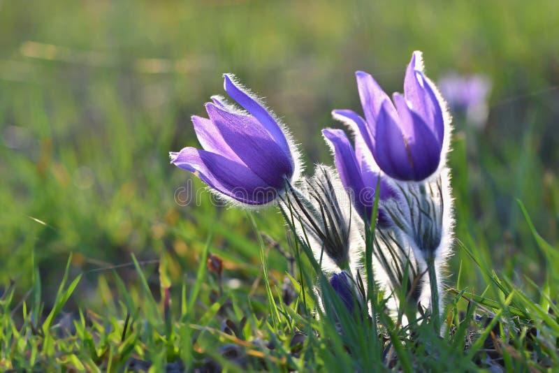 Vårsäsong Den härliga lilan blommar att blomma i en solig dag Med en naturlig kulör bakgrund av ängen Pasque flöde arkivfoton