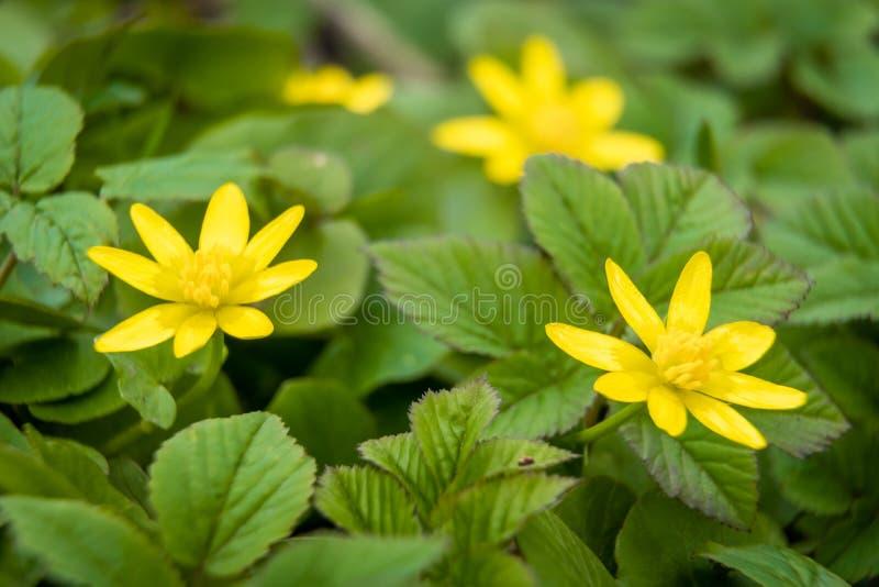 Vårschistyak, första vårblommor på stadens gräs under vårens uppvaknande royaltyfri foto