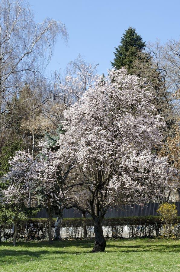 Vårsikten med att blomma plommon-trädet eller Prunusdomesticaen parkerar in fotografering för bildbyråer