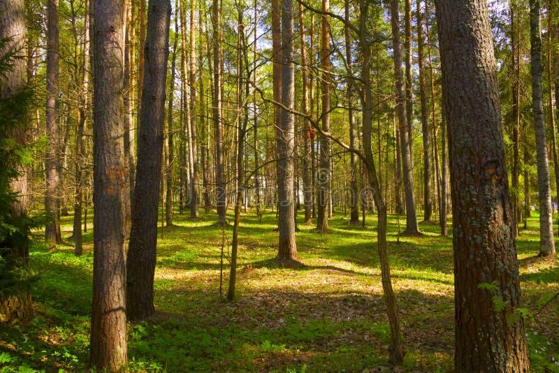 Vårskog på kvällen arkivbild