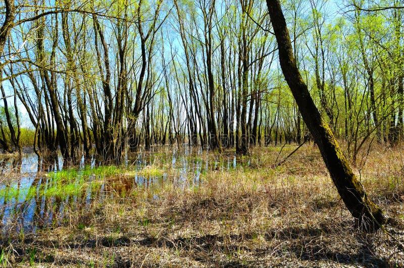 Vårskoglandskap - träd för den strand- skogen som översvämmas med flödande över flodvatten i solig vår, rider ut arkivfoton