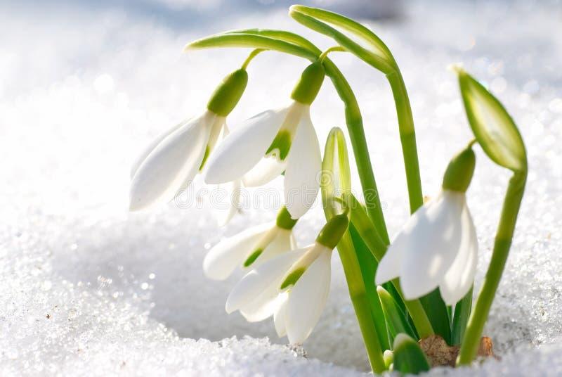 Vårsnödroppeblommor fotografering för bildbyråer