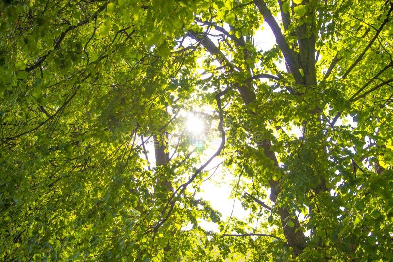 Vårsol som skiner till och med markisen av trän för högväxta träd Solljus i skogen, sommarnatur Övrefilialer av trädbakgrund arkivfoto